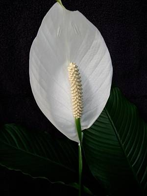 Photograph - Peace Lily by Sharon Duguay