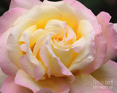 Photograph - Peace Rose by Olivia Hardwicke
