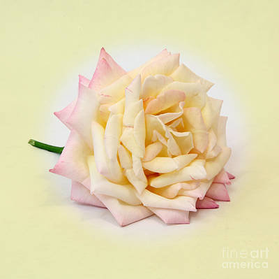 Photograph - Peace Rose  by Pattie Calfy