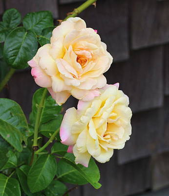 Botanical Photograph - Peace Roses 2 by Cathy Lindsey