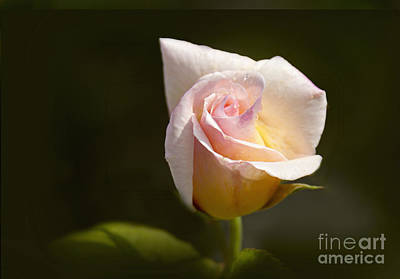 Yellow Rosebud Photograph - Peace Tea Rose by Margie Hurwich
