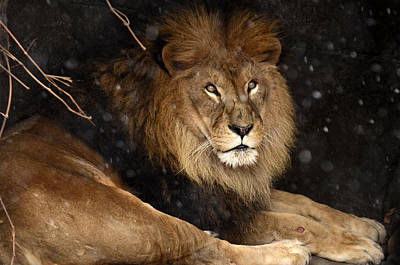 Photograph - Peaceful Lion by Ann Bridges