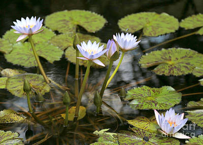 Photograph - Peaceful Water Lily Pond by Carol Groenen