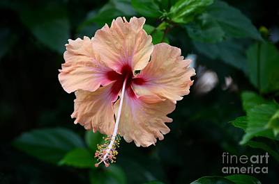 Photograph - Peach And Deep Purple Hibiscus Flower by Imran Ahmed