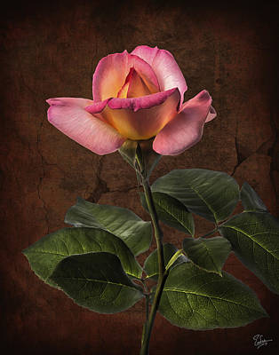 Photograph - Peach And Pink Rose by Endre Balogh