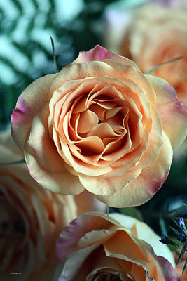Photograph - Peach And Purple Hybrid Tea Rose 2 by Connie Fox