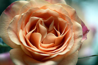 Photograph - Peach And Purple Hybrid Tea Rose by Connie Fox