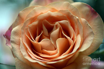 Photograph - Peach And Purple Hybrid Tea Rose 3 by Connie Fox