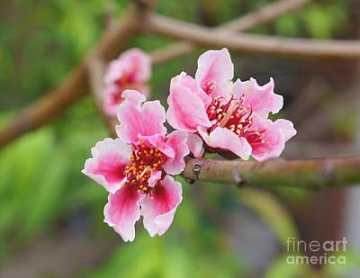 Photograph - Peach Blossom 1 by Rachel Munoz Striggow