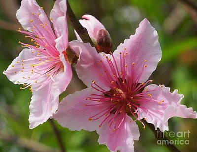 Photograph - Peach Blossom 4 by Rachel Munoz Striggow