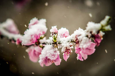 Photograph - Peach Blossom In Snow by Alex Grichenko