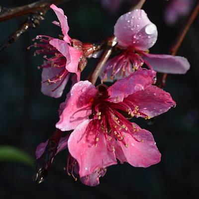 Peach Blossoms 1.1 Art Print by Cheryl Miller