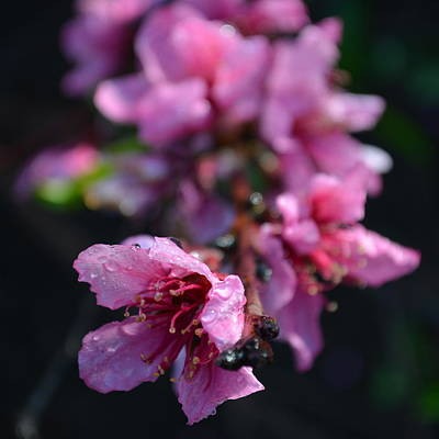 Photograph - Peach Blossoms 1.4 by Cheryl Miller