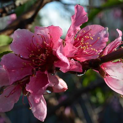 Peach Blossoms 1.5 Art Print by Cheryl Miller