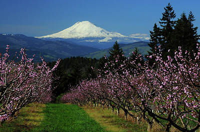 Peach Blossoms, Hood River, Oregon, Usa Art Print by Michel Hersen