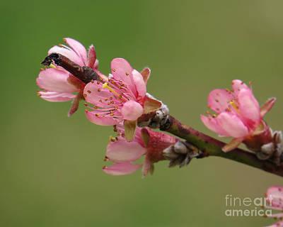 Peach Blossoms II Art Print
