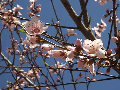 Photograph - Peach Blossoms by Katerina Naumenko