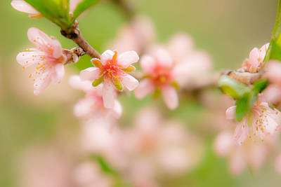 Photograph - Peach Blossoms by Robert Clifford