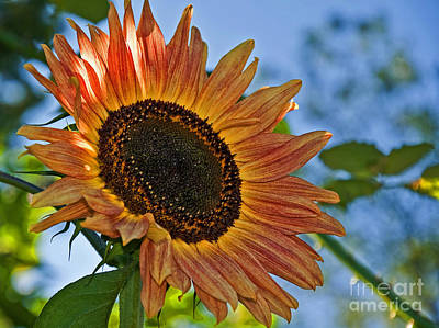 Photograph - Peach Colored Sunflower Backlit by Valerie Garner