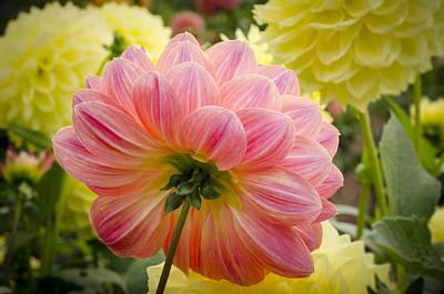 Dahlia Photograph - Peach Dahlia Flower by Carolyn Eaton