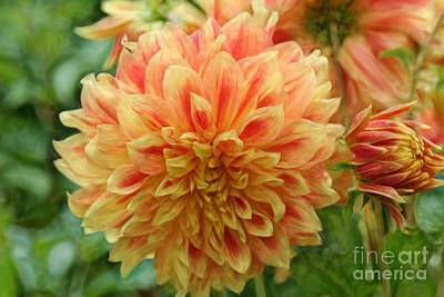 Photograph - Peach Dahlia by Shirley Mangini