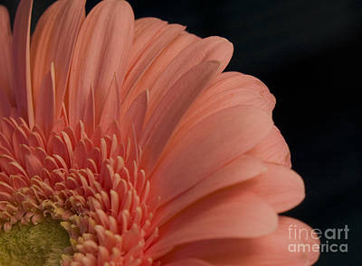 Peach Daisy Art Print by Brenda Doucette