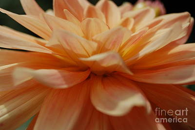 Photograph - Peach Fuzz Peony by Tamyra Crossley