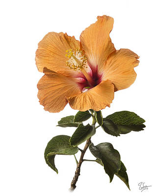 Photograph - Peach Hibiscus by Endre Balogh