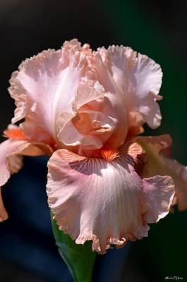 Photograph - Peach Iris by Maria Urso