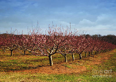 Photograph - Peach Orchard by Elena Nosyreva