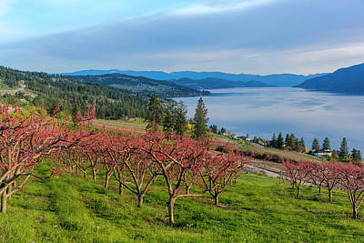 Kelowna Photograph - Peach Orchard In Bloom In Lake Country by Chuck Haney