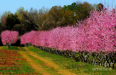 Art Print featuring the photograph Peach Orchard In Carolina by Lydia Holly