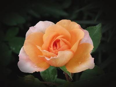 Photograph - Peach Petals - Rose by MTBobbins Photography