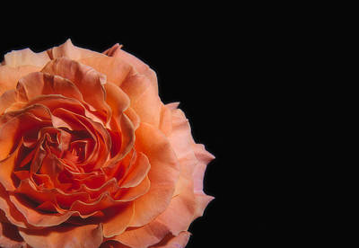 Peach Rose Black Background Art Print