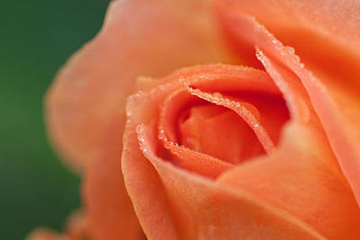 Photograph - Peach Rose by Bob Noble