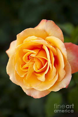 Photograph - Peach Rose by Brian Jannsen