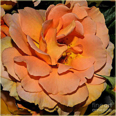 Photograph - Peach Rose - Digital Paint by Debbie Portwood