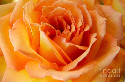 Photograph - Peach Rose by Haleh Mahbod
