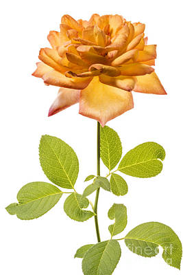 Peach-colored Photograph - Peach Rose On White by Vishwanath Bhat