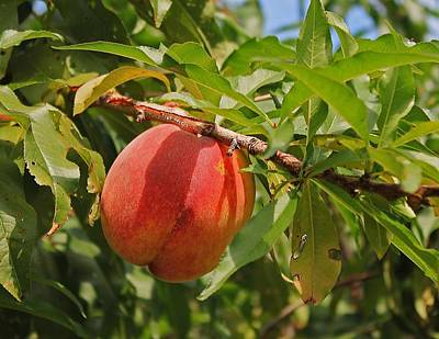 Photograph - Peach To Pick by Michael Saunders