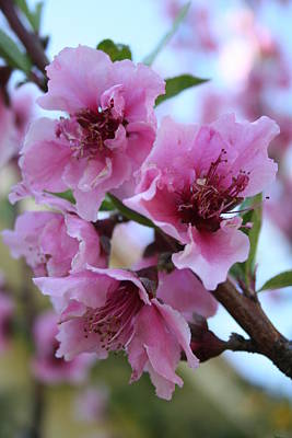 Peach Tree Blossom Close Up Art Print by Tracey Harrington-Simpson