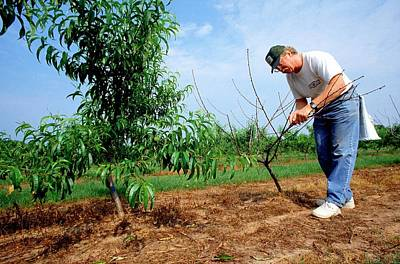 Of Peaches Photograph - Peach Tree Short Life Disease Research by Rob Flynn/us Department Of Agriculture