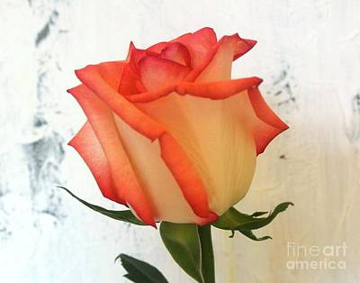 Photograph - Peach Trim Rose by Marsha Heiken