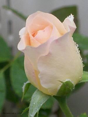 Fragile Peach Rose Bud Art Print by Belinda Lee