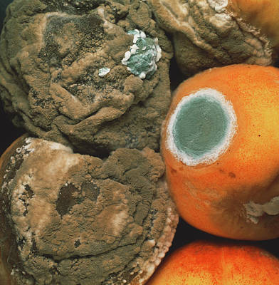 Organism Wall Art - Photograph - Peaches Covered In Fungal Growth by Dr Jeremy Burgess/science Photo Library