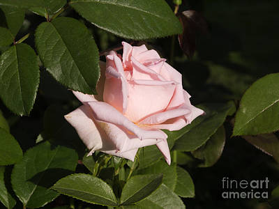Photograph - Pink Perfection by Brenda Kean