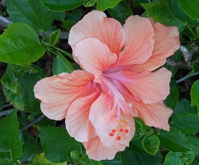 Peachy Hibiscus Art Print