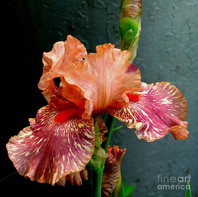 Marilyn Photograph - Peachy Iris Perfection by Marilyn Smith