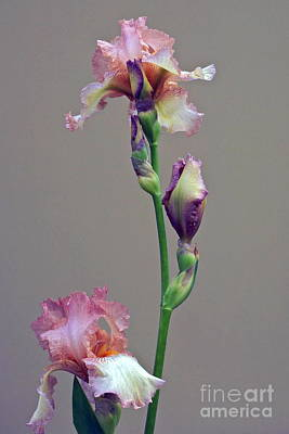 Photograph - Peachy Prize Winning Iris by Byron Varvarigos