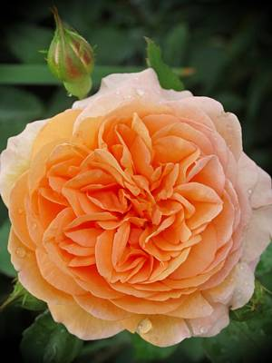 Photograph - Peachy Rose by MTBobbins Photography